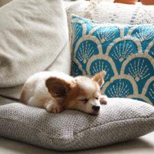 щенок папильона спит