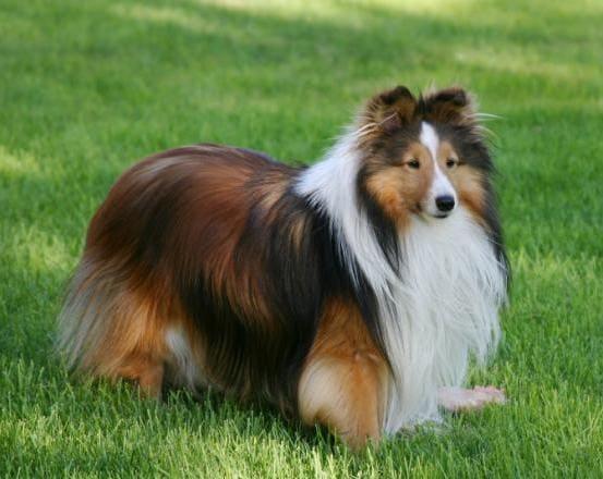Шелти умная собака