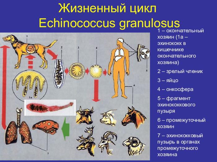 Глисты у собаки: признаки и виды гельминтов