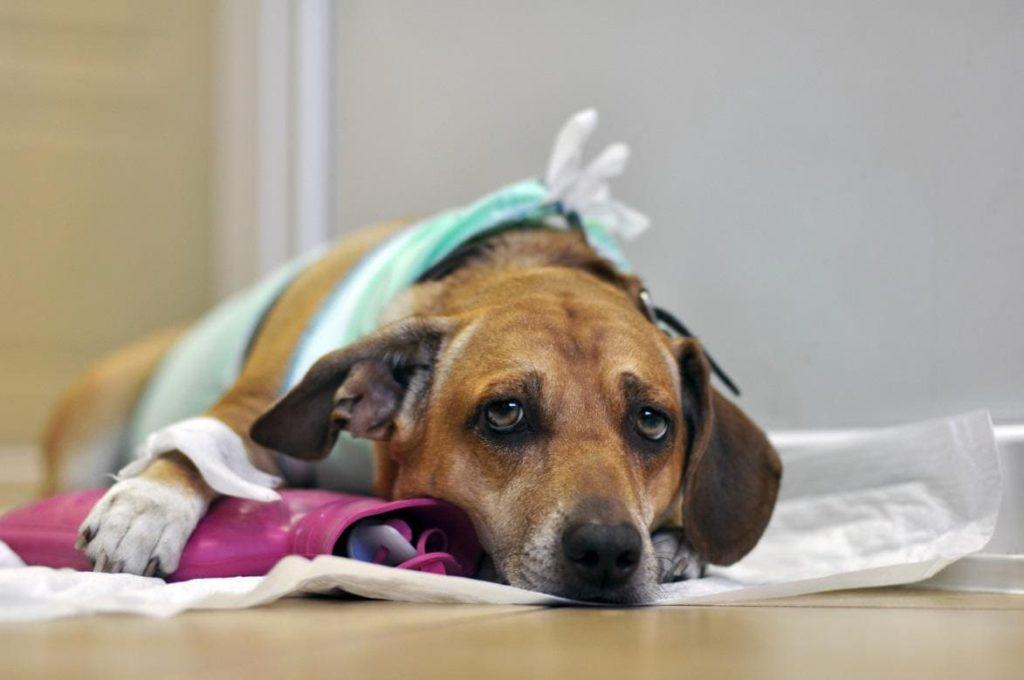 дрожь у собаки признак серьезных заболеваний
