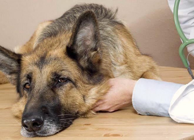 собака вялая при отравлении