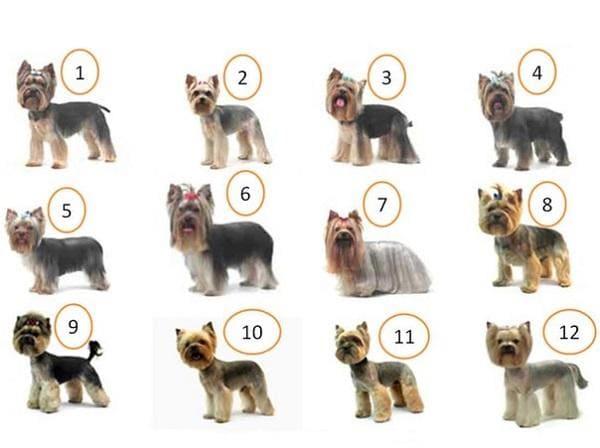 12 вариантов как можно постричь йоркширского терьера