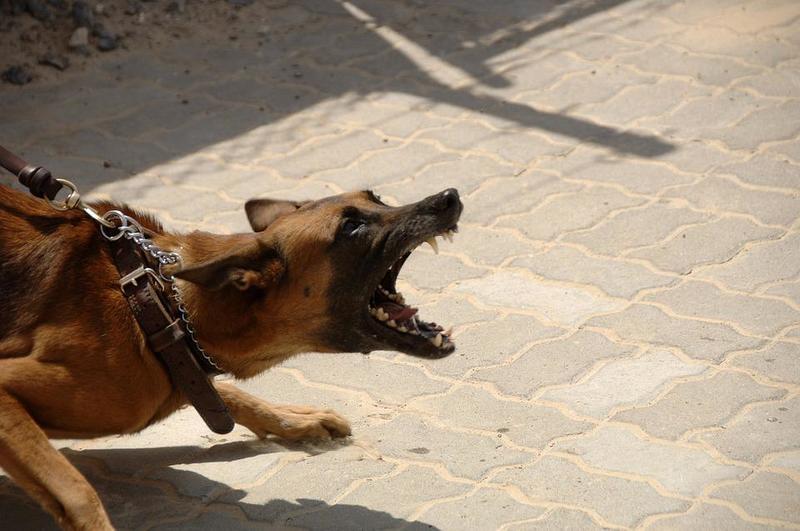 собака тянет поводок и лает