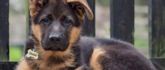 щенок с 1 висящим ухом