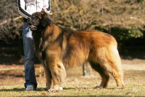 Леонбергер: фото, описание породы, характер собаки, уход и содержание