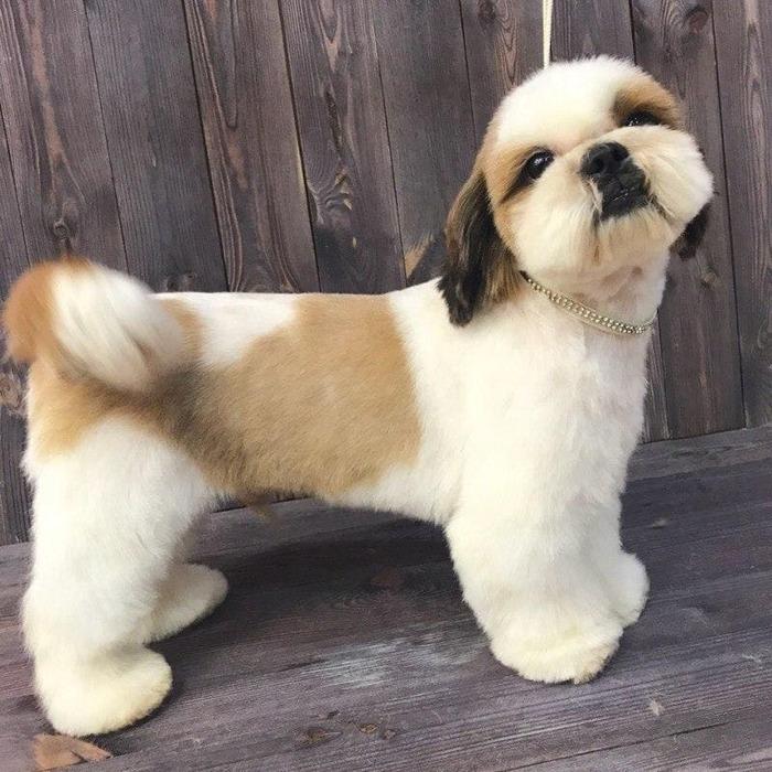 стрижка щенок для ши-тцу