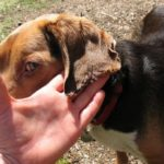 корочки на ушах у собаки