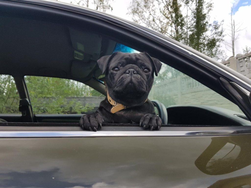 мопс в машине
