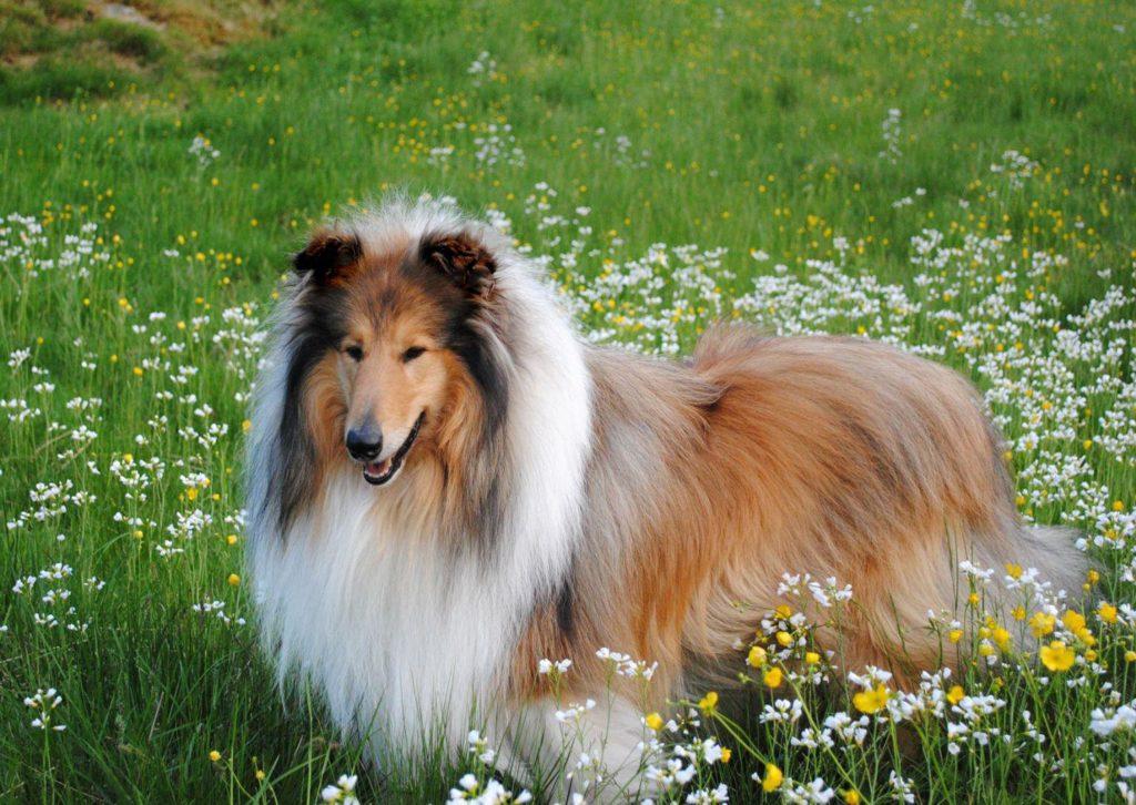 Шотландская овчарка