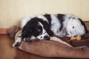 Грустная собака спит на своем месте