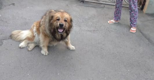 Дисплазия у собак: симптомы и возможные варианты лечения дисплазии тазобедренного и локтевого сустава
