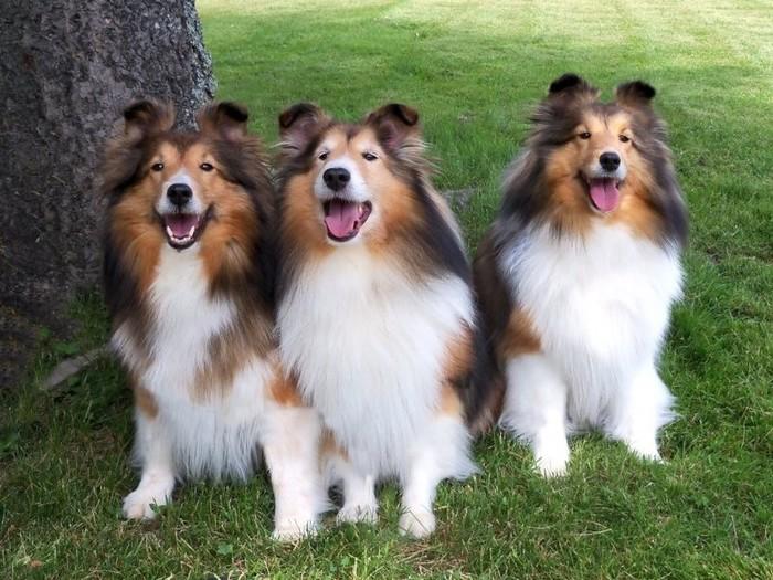 три красивые шетландские овчарки