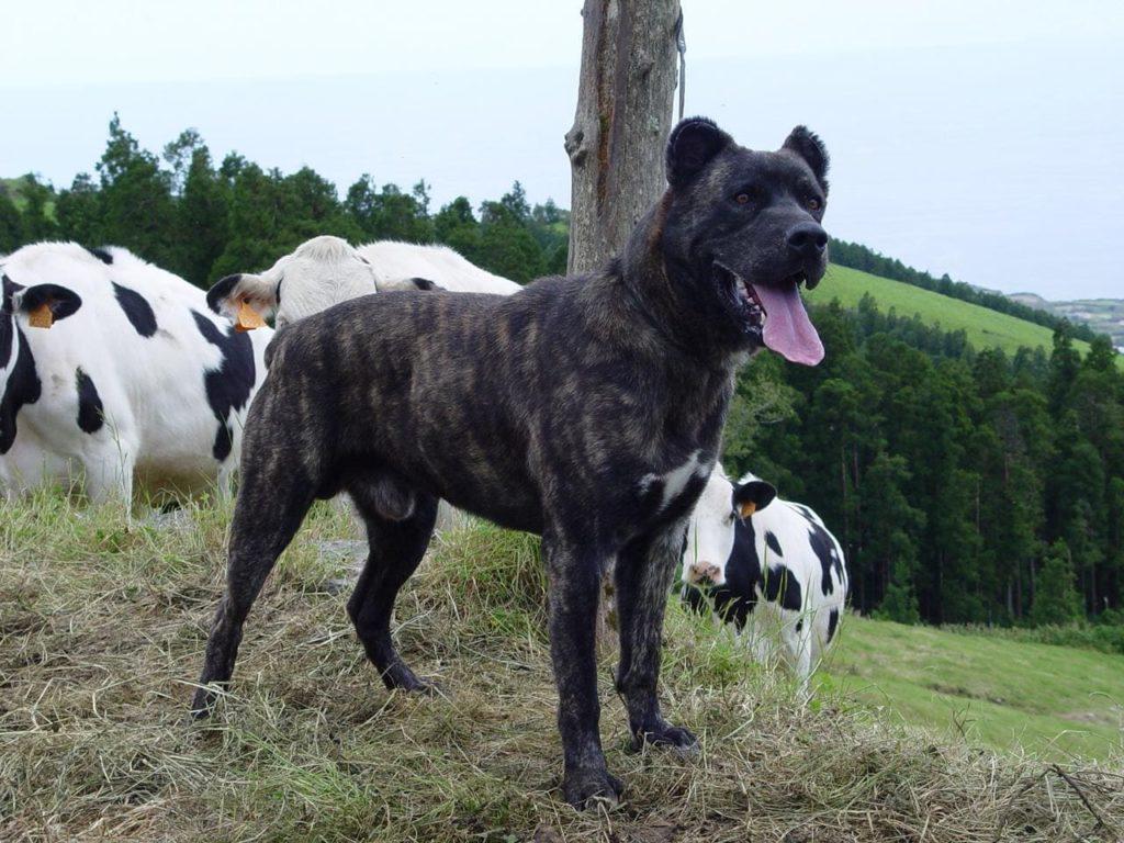 Азорская пастушья собака