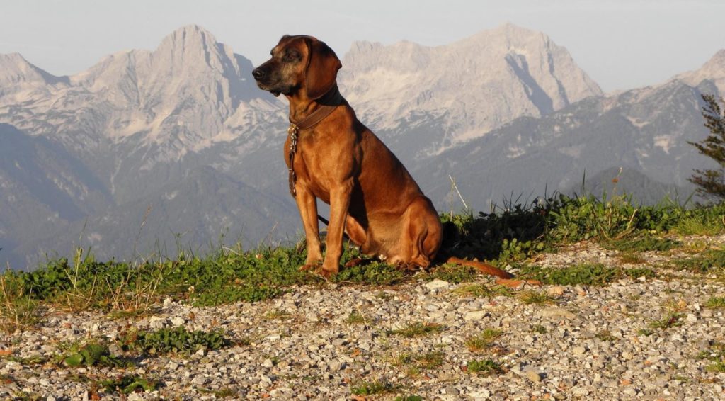 Баварская горная гончая
