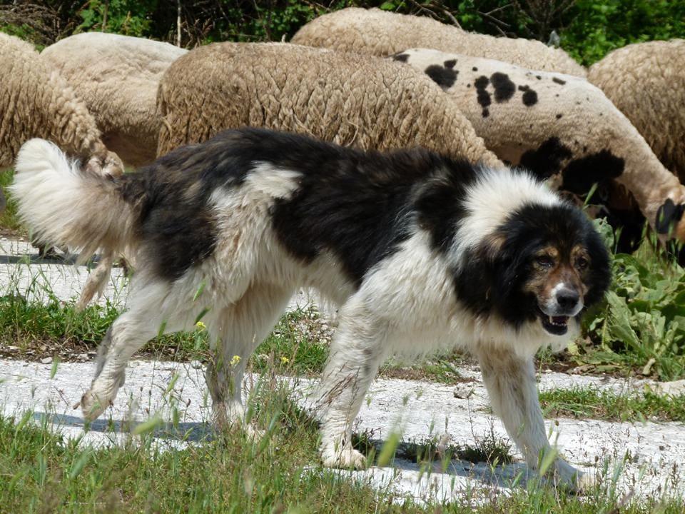 Каракачанская собака