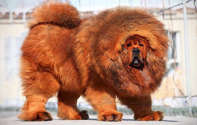 огромный тибетский мастиф