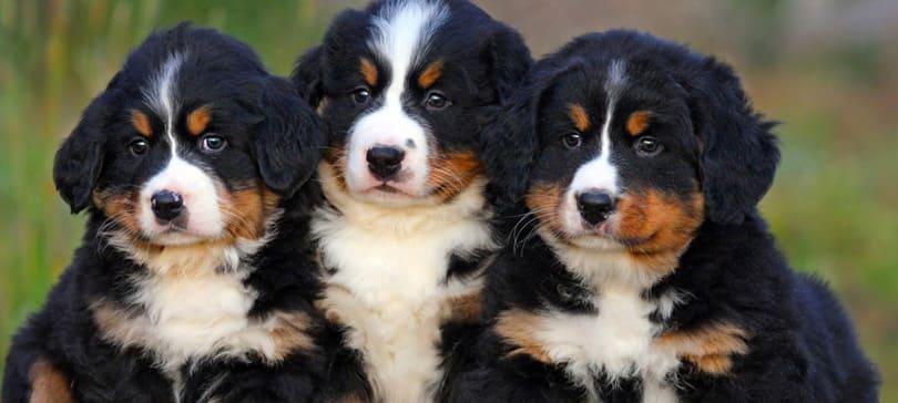 три щенка бернского зенненхунда