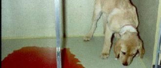 у собаки в моче кровь