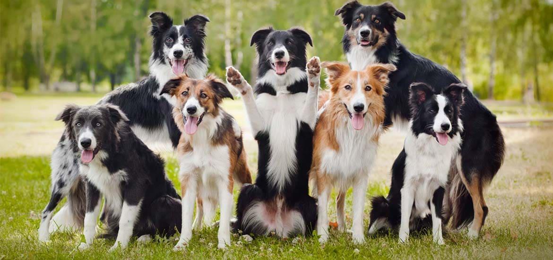 Самые умные собаки в мире - Бордер-колли
