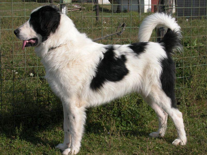 Буковинская овчарка