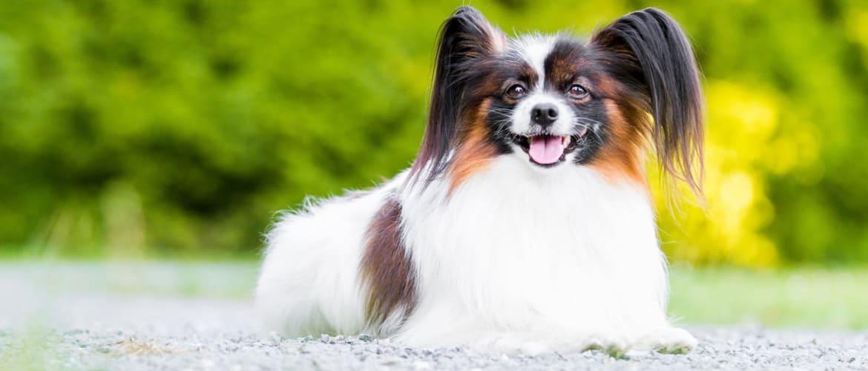 Папильон фото собаки