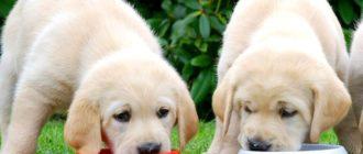 как кормить щенка лабрадора