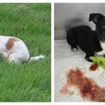 кровавый понос у маленького щенка
