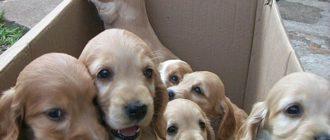 возраст щенков когда их можно отдать