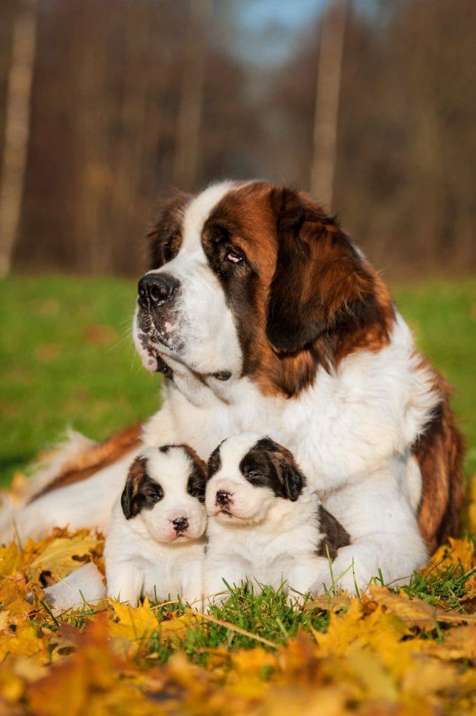 сенбернар с двумя маленькими щенками