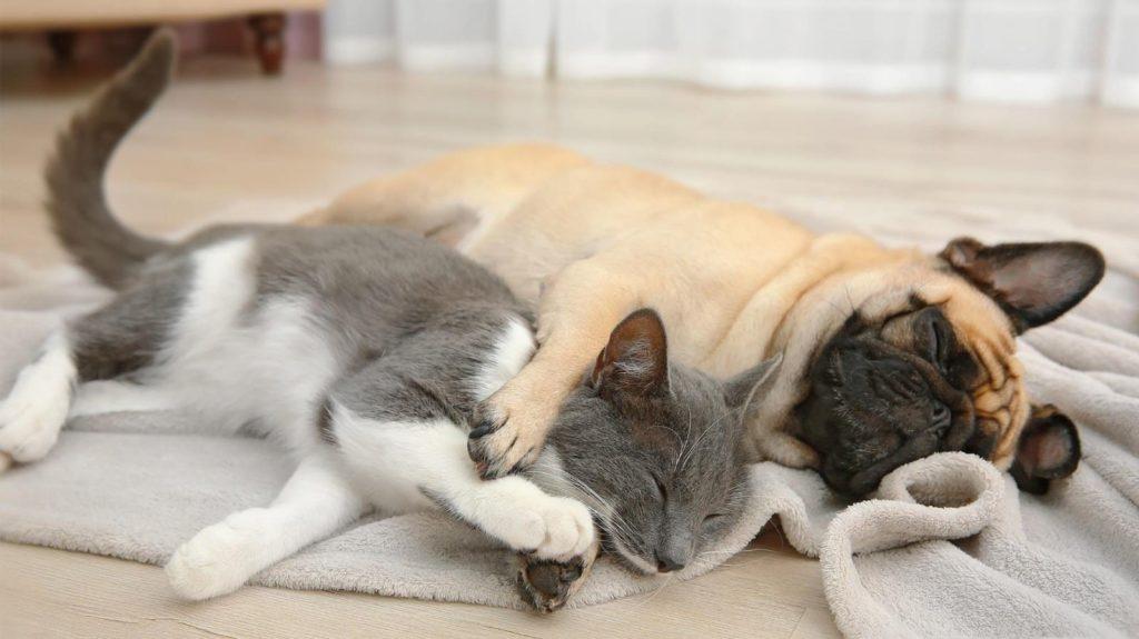 мопс и кошка