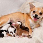 продолжительность беременности у собак