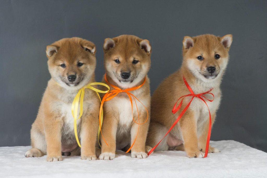 три щенка сиба-ину