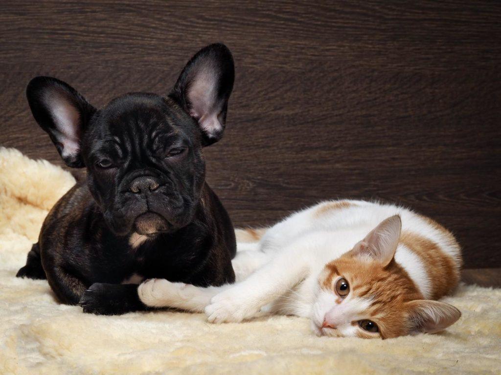 француз и кошка