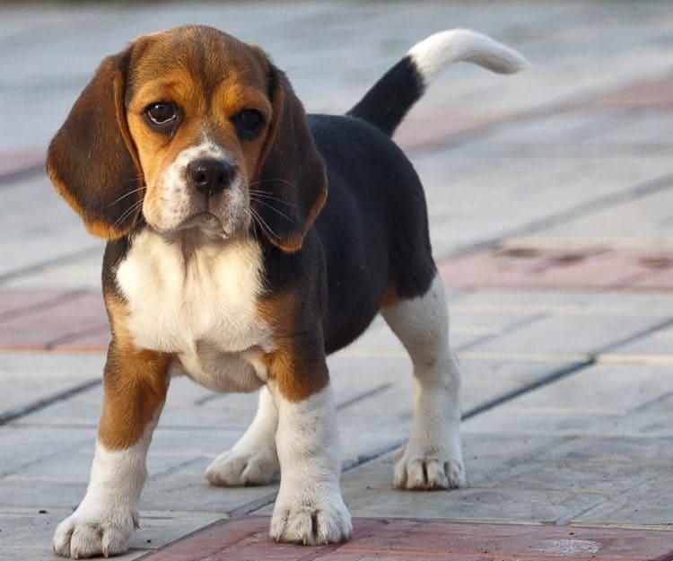 фото щенка бигля