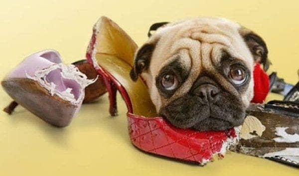 Мопс сгрыз туфли