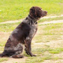 Вахтельхунд - средняя порода собак