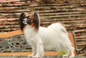 красивое фото собаки папильона