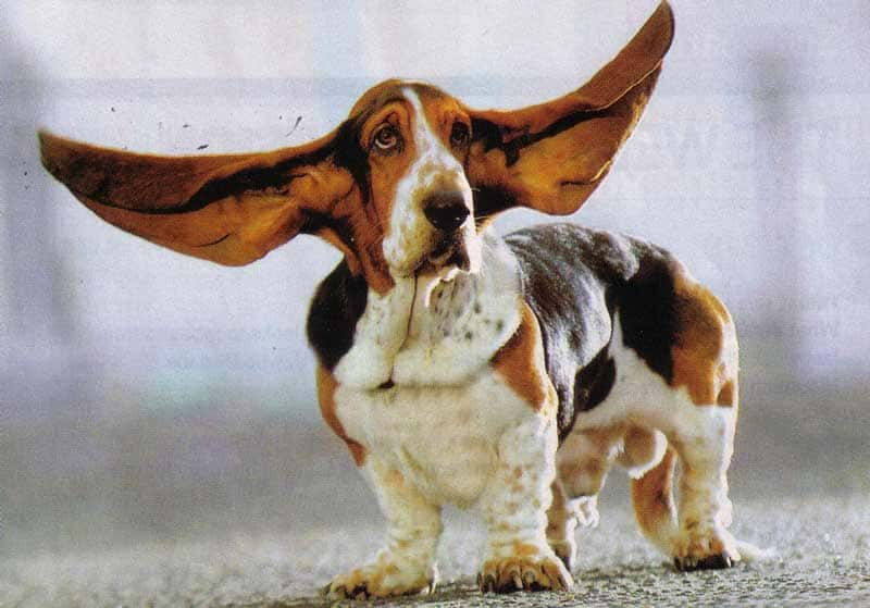 Большие уши бассета