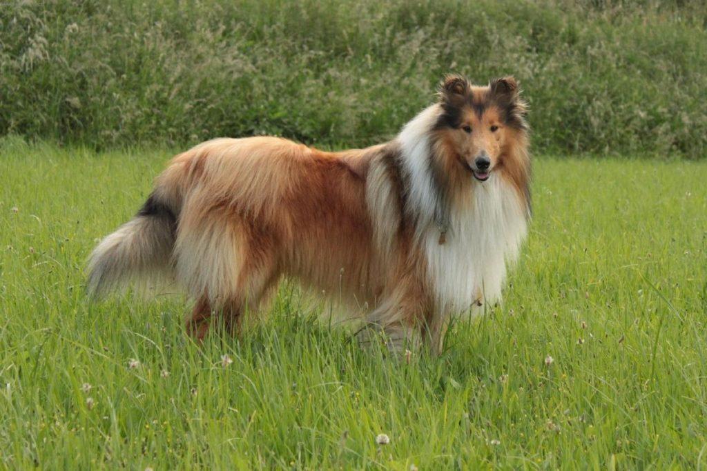Шотландская овчарка или колли