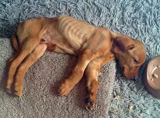 У собаки хронический лептоспироз.