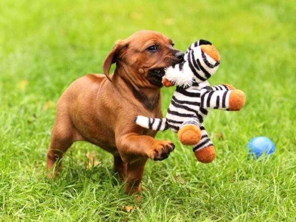 Щенок родезийского риджбека с игрушкой