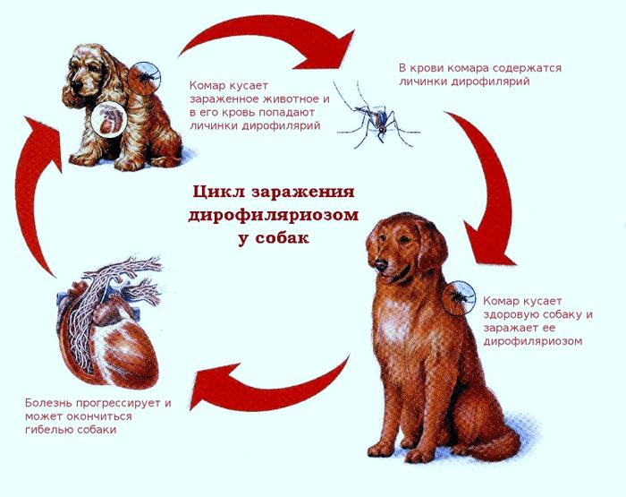 цикл заражения дирофиляриозом