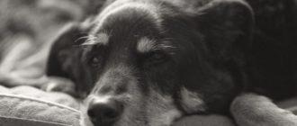 собака не ест и не пьет, лежит вялая