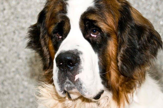 грустные глаза у сенбернара