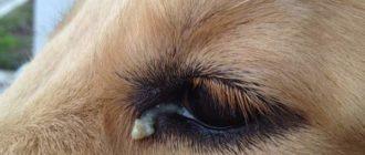 гной в глазах у собаки